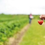 "Image credit: ""Strawberry picking"", Shahrizal Idris, Flickr, CC BY-NC"